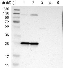 Western blot - Anti-MRP-L9 antibody (ab121287)