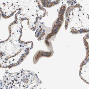 Immunohistochemistry (Formalin/PFA-fixed paraffin-embedded sections) - Anti-TMF antibody (ab121290)