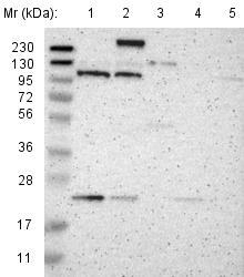 Western blot - Anti-TMF antibody (ab121290)