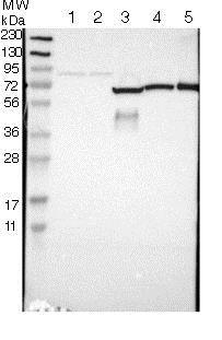 Western blot - Anti-GAB3 antibody (ab121311)