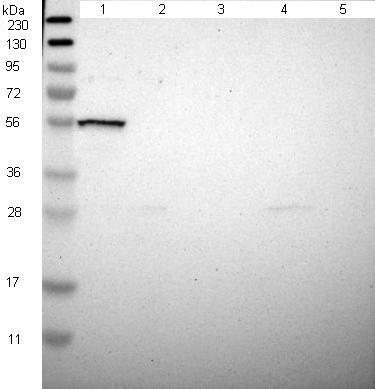 Western blot - Anti-Mare antibody (ab121346)