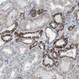 Immunohistochemistry (Formalin/PFA-fixed paraffin-embedded sections) - Anti-CLMN antibody (ab121373)