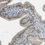 Immunohistochemistry (Formalin/PFA-fixed paraffin-embedded sections) - Anti-GPR158 antibody (ab121388)
