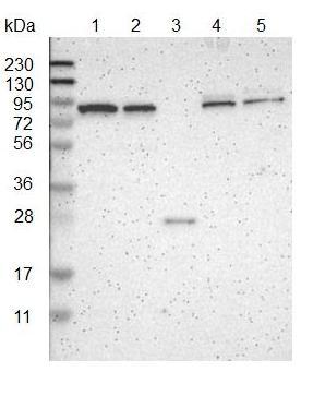 Western blot - Anti-KANK4 antibody (ab121410)