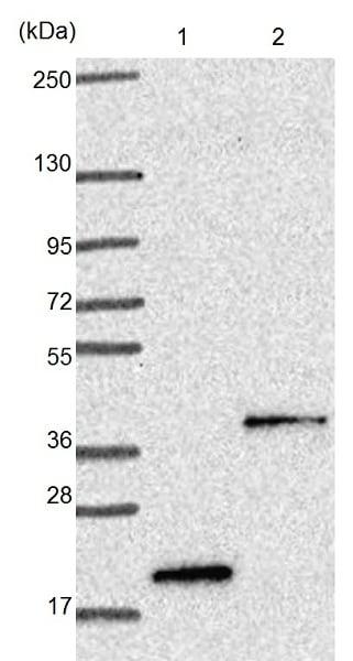 Western blot - Anti-TMEM120B antibody (ab121413)