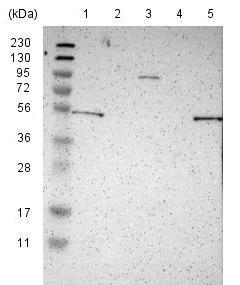 Western blot - Anti-KIAA0513 antibody (ab121430)