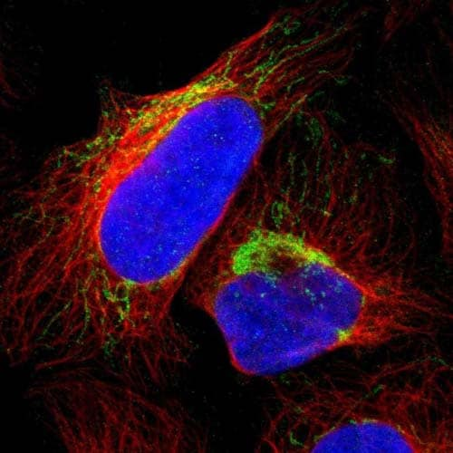 Immunocytochemistry/ Immunofluorescence - Anti-CALHM2 antibody (ab121446)