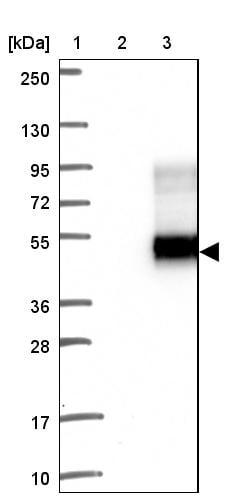 Western blot - Anti-AFAF antibody (ab121470)