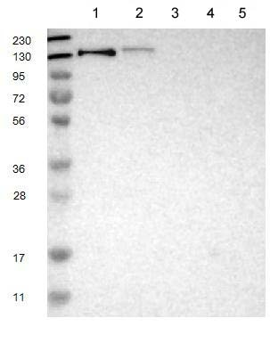 Western blot - Anti-LRIG2 antibody (ab121472)