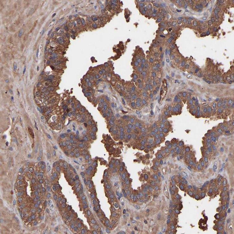 Immunohistochemistry (Formalin/PFA-fixed paraffin-embedded sections) - Anti-C9ORF91 antibody (ab121527)