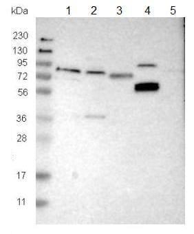 Western blot - Anti-SDR-2 antibody (ab121538)