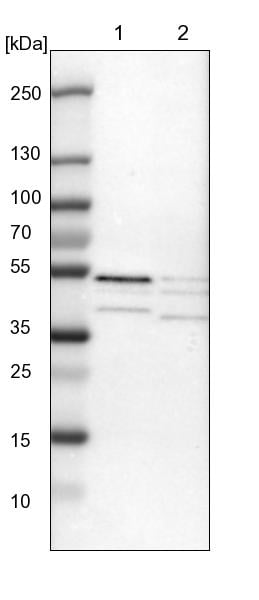 Western blot - Anti-p46 antibody (ab121568)