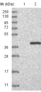 Western blot - Anti-ERGIC1 antibody (ab121582)