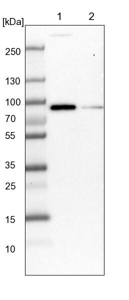 Western blot - Anti-AJM1 antibody (ab121654)