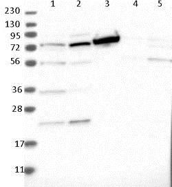 Western blot - Anti-TOP1MT antibody (ab121681)