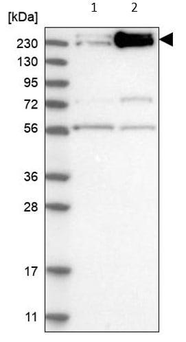 Western blot - Anti-Int1 antibody (ab121692)