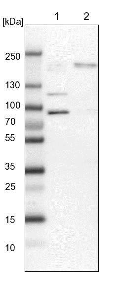 Western blot - Anti-RBM33 antibody (ab121695)