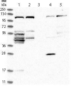 Western blot - Anti-FAM83G/PAWS1 antibody (ab121750)