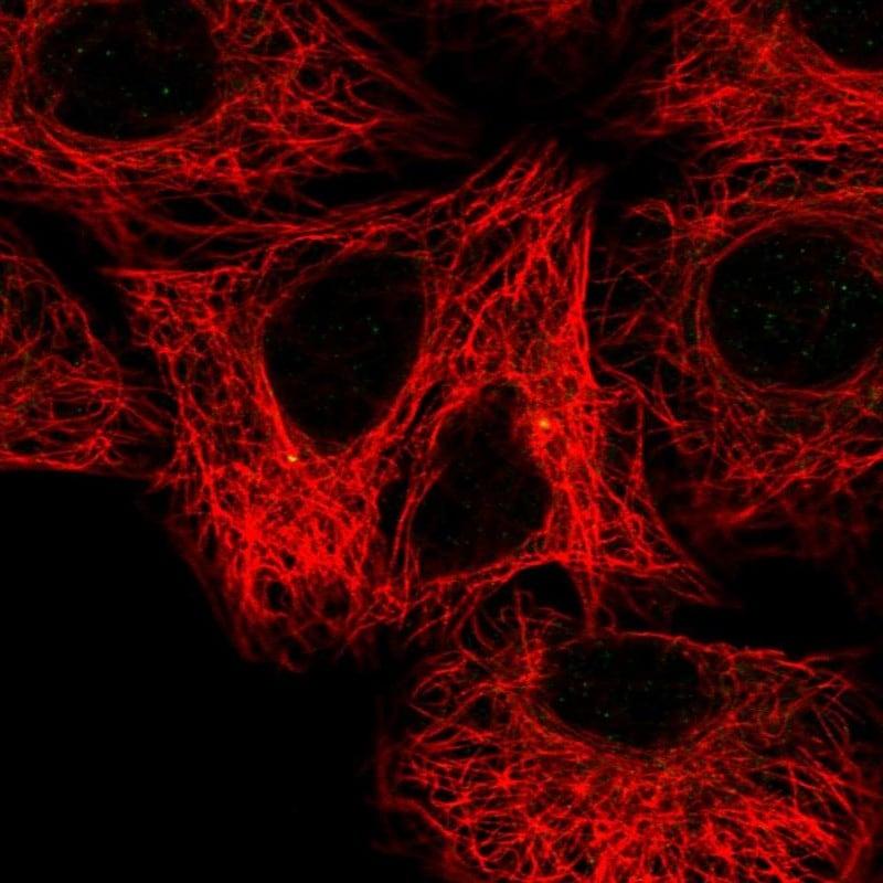 Immunocytochemistry/ Immunofluorescence - Anti-FBF-1 antibody (ab121770)
