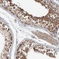 Immunohistochemistry (Formalin/PFA-fixed paraffin-embedded sections) - Anti-WDR67 antibody (ab121771)