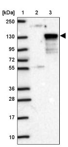 Western blot - Anti-WDR67 antibody (ab121771)