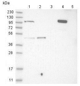 Western blot - Anti-C1orf112 antibody (ab121774)