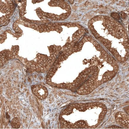Immunohistochemistry (Formalin/PFA-fixed paraffin-embedded sections) - Anti-TRAF6BP/TAX1BP1 antibody (ab121812)