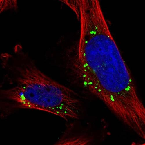 Immunocytochemistry/ Immunofluorescence - Anti-CNPY4 antibody (ab121855)