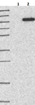 Western blot - Anti-C1orf25 antibody (ab121883)