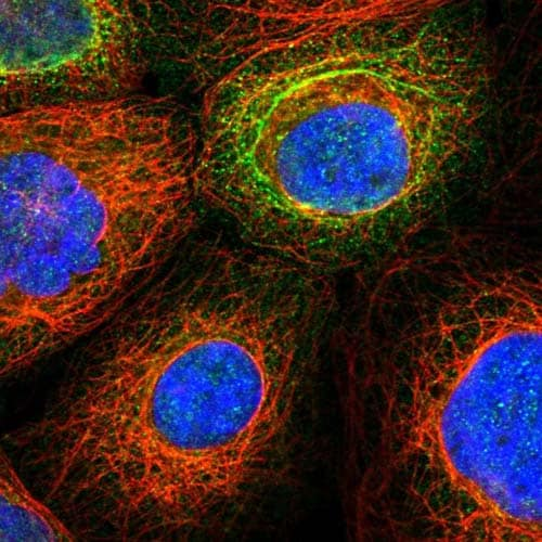 Immunocytochemistry/ Immunofluorescence - Anti-ZNF774 antibody (ab122137)