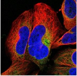Immunocytochemistry/ Immunofluorescence - Anti-SH3BGRL3 antibody (ab122138)