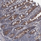 Immunohistochemistry (Formalin/PFA-fixed paraffin-embedded sections) - Anti-MPP1 antibody (ab122165)