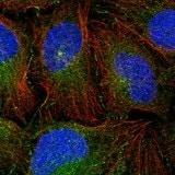 Immunocytochemistry/ Immunofluorescence - Anti-NAF1 antibody (ab122323)