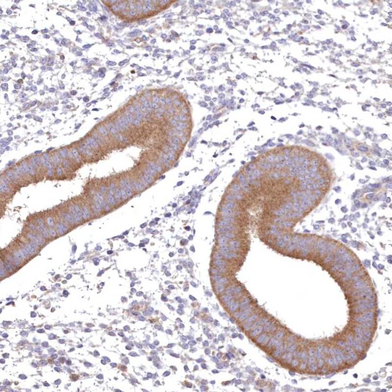 Immunohistochemistry (Formalin/PFA-fixed paraffin-embedded sections) - Anti-FCHO2 antibody (ab122407)