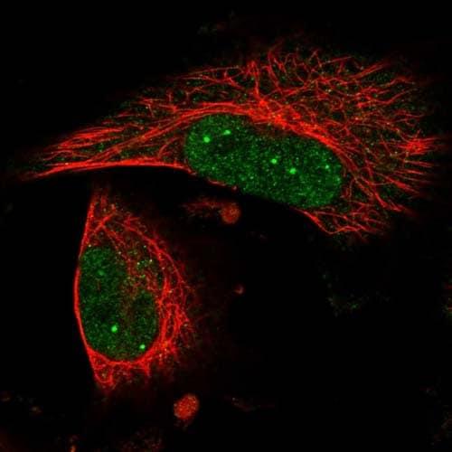 Immunocytochemistry/ Immunofluorescence - Anti-LRRC56 antibody (ab122506)
