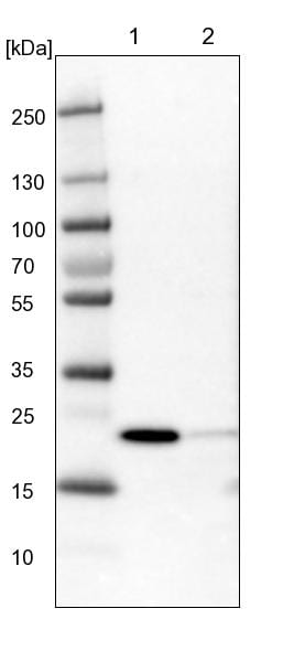 Western blot - Anti-TTC36 antibody (ab122507)