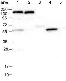 Western blot - Anti-SLC7A10 antibody (ab122751)