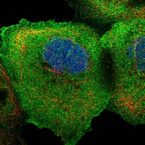 Immunocytochemistry/ Immunofluorescence - Anti-PIRT antibody (ab122783)