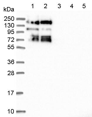 Western blot - Anti-SBNO1 antibody (ab122789)