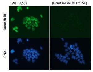 Immunocytochemistry/ Immunofluorescence - Anti-Dnmt3b antibody (ab122932)