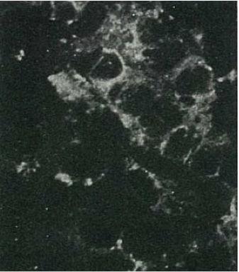 Immunocytochemistry/ Immunofluorescence - Anti-Hepatitis C  Virus Core Antigen antibody [H6-29] (FITC) (ab123076)
