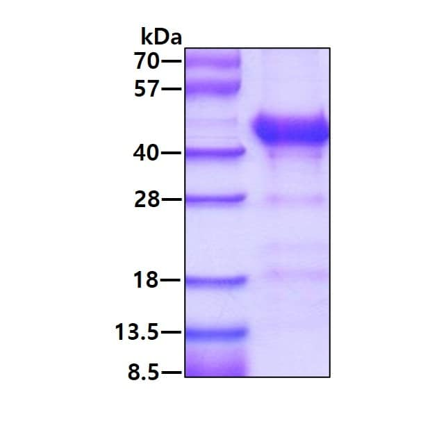 SDS-PAGE - Recombinant Human Alcohol Dehydrogenase protein (ab123147)