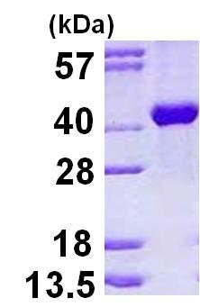 SDS-PAGE - Recombinant Human Aldolase B protein (ab123165)