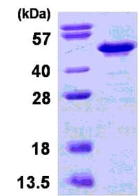 SDS-PAGE - Recombinant Human IKB beta protein (ab123184)