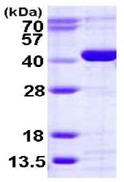 SDS-PAGE - Recombinant Human CANT1 protein (ab123189)