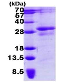 SDS-PAGE - Recombinant Human STYX protein (ab123197)