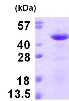 SDS-PAGE - Recombinant Human Reticulocalbin 3 protein (ab123203)