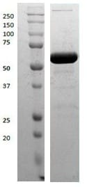 SDS-PAGE - Recombinant Human Tyrosyl tRNA synthetase/TyrRS protein (ab123223)