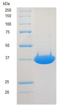 SDS-PAGE - Recombinant rat DNA Polymerase beta protein (ab123225)