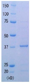 SDS-PAGE - Recombinant thermus aquaticus RecA protein (ab123228)